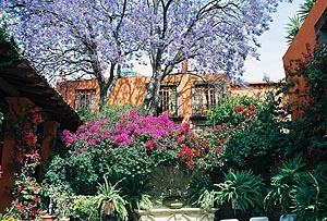 The big Jacaranda-tree