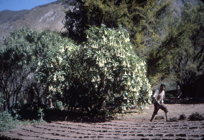 Sun-drying the adobe under the Trumpet-tree